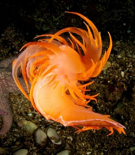 Photo:  British Columbia Nudibranch